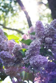 Lilacs, my mother's favorite...these are exact color I'd pick out of neighbor's yard on way home from school, to thrill my mother...then get punished for stealing, lol...