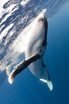 Blue whales are biggest mammals but eat the smallest animals krill. Blue whale baby's weigh 2 tons when born. They live to be 80 to 90 years of age. Orcas, Photo Animaliere, Zoom Photo, Save The Whales, Water Life, Ocean Creatures, Tier Fotos, Sea And Ocean, Killer Whales