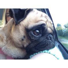 Pug Names, Pug Mug, Baby Pugs, Black Pug, Pug Puppies, Cute Mugs, Pug Love, Shih Tzu, French Bulldog