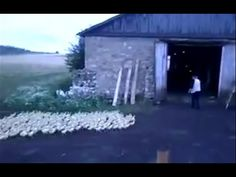 Man Yelling At Ducks Who Obey Every Command - This is freaking hilarious!!