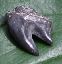 NOTORYNCHUS PRIMIGENIUS SHARK TOOTH FOSSIL RESEARCH SPECIMEN FLORIDA PEACE RIVER