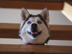 A happy husky looking down from the top of the stairs.
