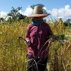 Thai rice at 10-year low as farmers harvest new crop