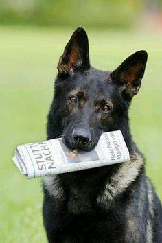 German Shepherd so intelligent