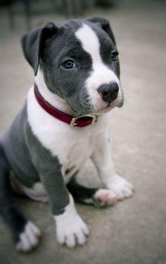 Cute grey and white pitbull puppy.