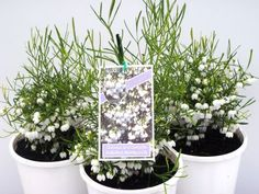 Domus Nursery specialises in growing a range of exotic and native plants that thrive in Western Australia's harsh climate Australian Plants, Native Plants, Western Australia, Nativity, Exotic, Nursery, Garden Ideas, Baby Room, Bethlehem