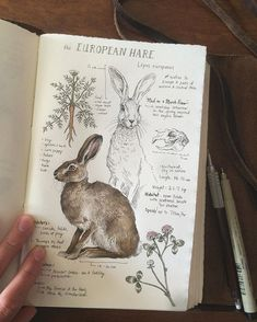 Just waiting on some banana bread to finish baking while I finish up another entry in my natural sciences journal: Lepus Europaeus #europeanhare