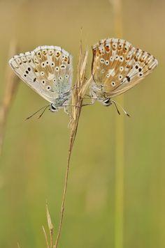 Silbergrüner Bläuling (Polyommatus coridon) Butterfly Wallpaper, Moth, Butterflies, Art Projects, Insects, Silver, Butterfly, Art Designs
