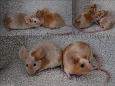 Recessive Red Merle Fancy Show Mice - I can't get over the size of their massive ears!