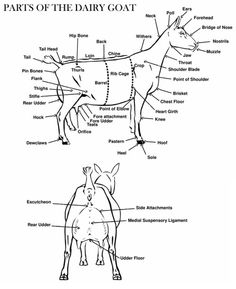 I am Goat likewise Body Diagram For Goats besides Dairy Goat Body Parts Diagram as well 678 additionally 472666923373853249. on cuts of meat boer