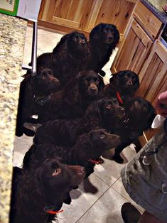 look at these beautiful Boykin Spaniels... all waiting for a waffle! :) AHHHHHHHH!