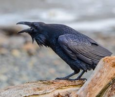 Your Daily Raven via Wendy Davis Photography FB Raven Bird, Quoth The Raven, Dark Wings, Jackdaw, All Birds, Birds Of Prey, Bird Art, Crow Art, Raptors