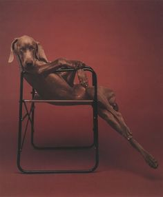 A typical William Wegman photo; this photographer devoted a lot of his work to his Weimaraner dogs.