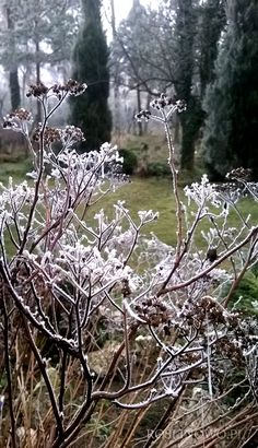 zasuszone pędy z kwiatostanami tawuły japońskiej