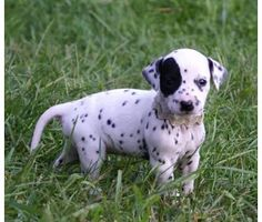 One day I will have a dalmatian puppy and I will name him Scooter and I will love him forever
