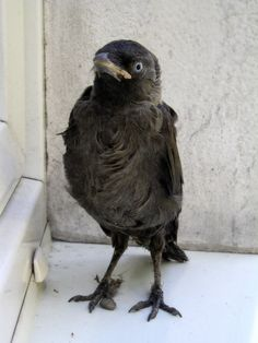 Crow Chick.   ...........click here to find out more     http://googydog.com