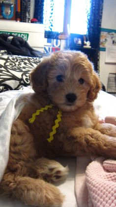 Golden doodles- they are designer fru fru dogs, they are lovable sweethearts. I rescued my mini golden doodle from a shelter and she's amazing. Please pray for her thanks ♡ Cute Puppies, Cute Dogs, Dogs And Puppies, Doggies, Baby Animals, Funny Animals, Cute Animals, Puppy Breath, Doodle Dog