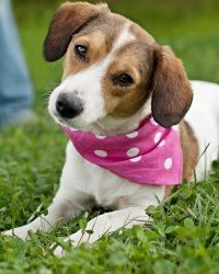 Aria is an adoptable Beagle Dog in Portsmouth, RI. Aria is a beautiful 1 year old Beagle/Jack Russell Terrier mix looking for her forever home! Aria is a petite girl and weighs in at just 16 pounds. A...