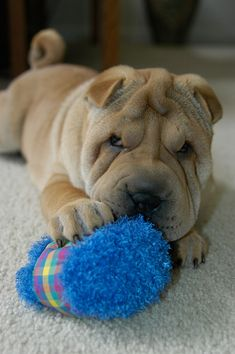 Shar Pei Puppy Vincent circa 2006