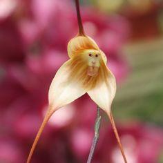 La increíble orquídea con cara de mono y dientes de drácula. Existen variedad de colores y combinaciones; provienen de la región ecuatorial al sur-oriental y los bosques peruanos.