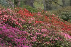 Get advice on how to grow rhododendrons. Includes planting and cultivation tips that will help you grow gorgeous rhodedendrons in your own garden. Garden Shrubs, Flowering Shrubs, Gardening For Beginners, Gardening Tips, Garden Design Magazine, Acid Loving Plants, Richmond Park, London Garden, Starting A Garden