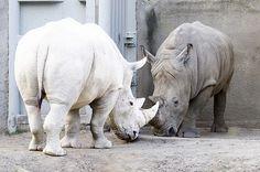 Image of Albino Rhino