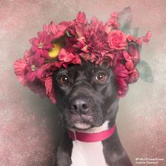 Sophie Gamand a French photographer living in NYC focuses her photography on dogs and our relationship with them. In her series Flower Power: Pit Bulls of the Revolution she hopes to help change the pit bull stereotype. Cute Puppies, Cute Dogs, Dogs And Puppies, Doggies, Pit Bulls, Animals And Pets, Cute Animals, My Animal, I Love Dogs