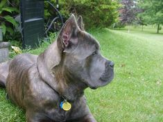 Cane Corso puppies available. Cane Corso uppies in ontario Cane Corso Kennel, Cane Corso Puppies, Best Dogs For Families, Family Dogs, Chien Cane Corso, Doberman, Rottweiler, Puppy Love, Pitbulls