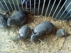 Colony Raising Rabbits 101. This family raises their rabbits with the bucks and does together. Lots of other great tips here. #rabbits