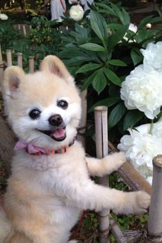 All About Cute Pomeranian Dogs Exercise Needs Cute Funny Animals, Cute Baby Animals, Animals And Pets, Cute Animal Pictures, Puppy Pictures, Spitz Type Dogs, Pet Dogs, Dog Cat, Cute Pomeranian