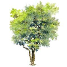 tree sotosop