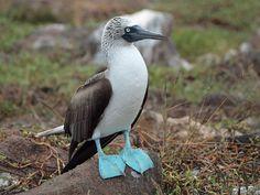 #Galapagos #Rundreise #Kreuzfahrt #Tiere #Reisen #erleben #richtigreisen #Blaufußtölpel #eberhardttravel