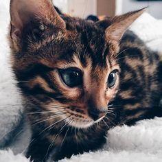 My little dude apollo the bengal cat - http://cutecatshq.com/cats/my-little-dude-apollo-the-bengal-cat/
