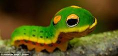 lagartas camufladoras - Pesquisa Google
