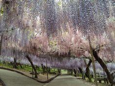 Localizado na cidade de Kitakyushu, Japão, o Jardim Kawachi Fuji é o lar de uma incrível coleção de 150 pés de glicínias chinesas (Wisteria sinensis), também conhecida como flor da ternura, distribuídas em 20 espécies diferentes. A principal atração do jardim é um túnel que permite aos visitantes caminhar sob um encantador céu repleto de cor e perfume.  Fotografia: pantanalgardencenter.com.br