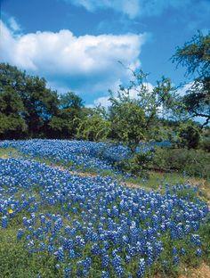 Google Image Result for http://www.northeastgeorgialiving.com/files/4312/9580/8197/Texas_Bluebonnets_2.jpg