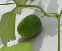 Cucumberberry (Melothria pendula).  Perennial Cucumber Vine Vigorous Grower – Can Be Trellised and Grown on Fences