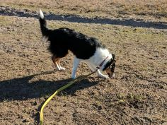 Galaxy, a young Scottish Collie. Her sire is an Ovelheiro Gaucho, a working Collie breed from South America. Collie Breeds, Scotch Collie, Gaucho, Livestock, South America, Animals, Animales, Animaux, Animal