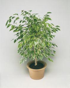 10 Best Indoor Plants for Men. Money Tree. Most Feng Shui Plant ...
