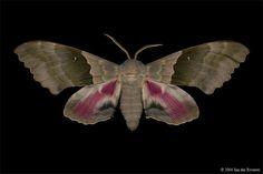 Big Poplar Sphinx Moth (Pachysphinx modesta) - White Lake, Ontario - July 17, 2004