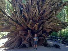 Greg Mongeau Our son Neo Mongeau exploring in the Mariposa Grove. — at Mariposa Grove Of Giant Sequioas.