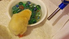 Care for Your New Chicks. Marbles in the bowl keep them from drowning. Lots of other good tips on caring for new chicks here too