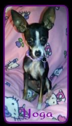 Yoga is an adoptable Chihuahua Dog in Plantation, FL. Yoga Chihuahua was given up by her family because she is not good with small children. She is a calm affectionate 8 month old baby girl. She is cu...