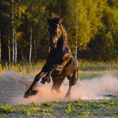 Girich Equifarm-Frisian horse