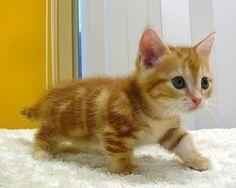 ネコ界のダックスフンド!胴長×短足「マンチカン」が可愛すぎる - NAVER まとめ