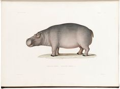 A page taken from, Voyage en Abyssinie execute pendant les annees by Theophile Lefebvre. A hippopotamus illustration.