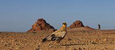 Socotra, un alimoche (Neophron percnopterus).