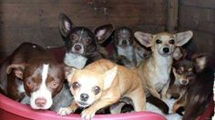 **CRISIS SITUATION** 15 DOGS IN NEED OF RESCUE IN THE NEXT 24 HOURS! (Located in South Florida) We recieved a call from one of our supporters who works for the Miami Sheriff's department. She had to put an eviction notice on a home where there are 15 Chihuahuas. www.facebook.com/photo.php?fbid=526393264108221&set=a.171816159565935.44162.171800626234155&type=1&ref=nf