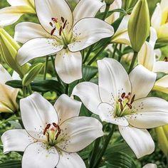 Eyeliner Lily US zones 3-8