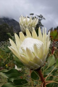 King Protea Ivory: all year Protea Flower, White Flowers, Flower Decorations, Rare Flowers, Types Of Flowers, Australian Native Plants, Amazing Flowers, Fynbos, Trees To Plant